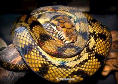 Phyton di Taman Reptil Sanggaluri Park