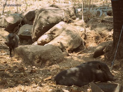 Babi di Pulau Pura Alor