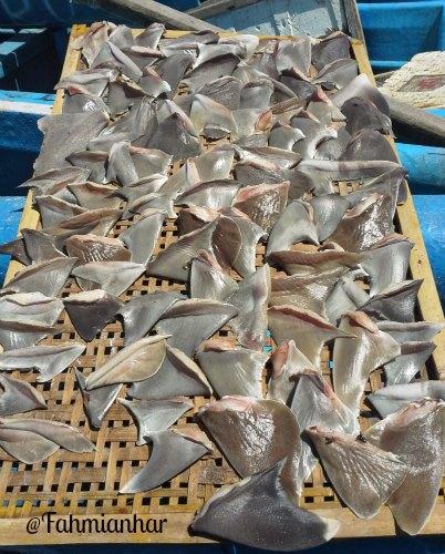 Shark Fin BALI #savesharks